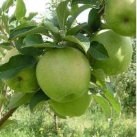 Яблоня Гренни Смит