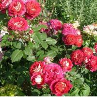 Роза Доктор Массад (шраб)