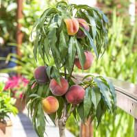 Персик колоновидный на штамбе