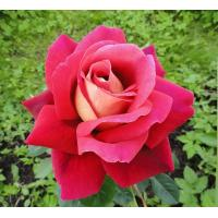 Роза Кроненбург(чайно-гибридная)