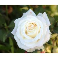 Роза Венделла(чайно-гибридная)