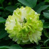 Пион древовидный Green Jade