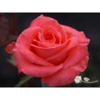 Роза Wow(чайно-гибридная)