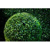 Самшит вечнозеленый Элеганс