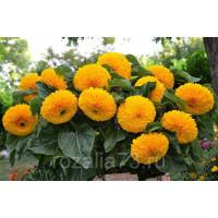 Цветы Подсолнечник Медвежонок Арт. 5230 | Семена
