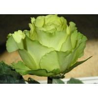 Роза Таль(чайно-гибридная)