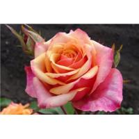 Роза Черри Бренди(чайно-гибридная)
