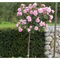 Роза Боника (штамбовая)