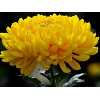 Хризантема Мираж крупноцветковая