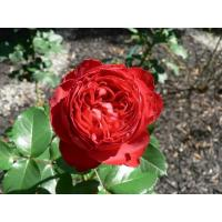 Роза Травиата(чайно-гибридная)