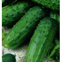 Огурец Засолочный Арт. 5586 | Семена