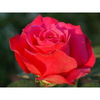 Роза Шакира(чайно-гибридная)