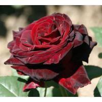 Роза Перль Нуар(чайно-гибридная)