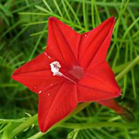 Ипомея Квамоклит красная Арт. 5495 | Семена