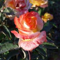 Роза Солидор(чайно-гибридная)