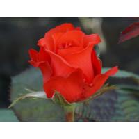 Роза Royal Massay - Роял Массай(чайно-гибридная)