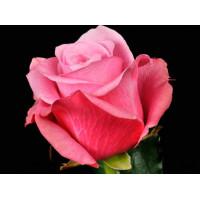 Роза Дип Вотер(чайно-гибридная)