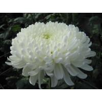 Хризантема Хрустальная Ваза крупноцветковая