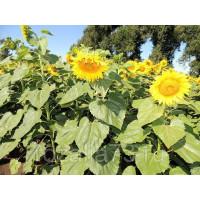 Подсолнечник Орешек Арт. 5292 | Семена